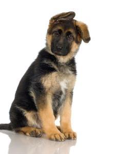german-shephard-puppy